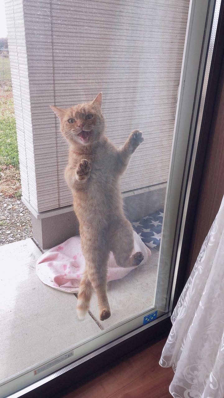 迷い猫 網戸よじ登る