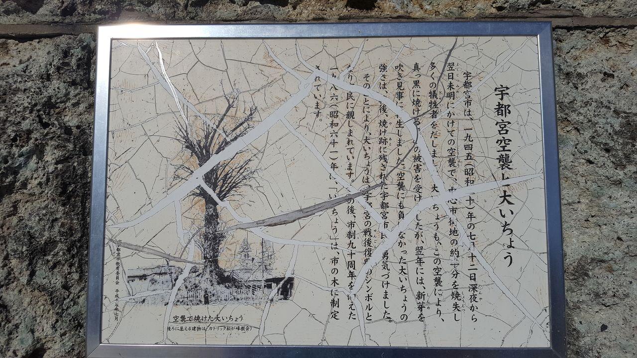 【2020年7月12日宇都宮空襲から75年】宇都宮市のシンボルツリー「大いちょう」